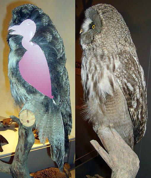 Owl Body Diagram Great Grey Owl's Body to