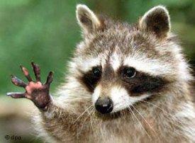 Heil mapache