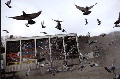 hooming, pigeons