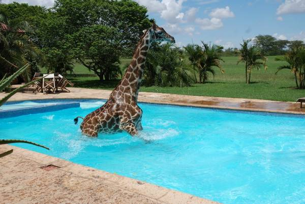 Here are some pictures of a giraffe swimming in a pool ...